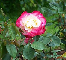 Red Rose by Matthew Walmsley-Sims