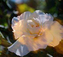 White Rose of Faithfulness by Lozzar Flowers & Art