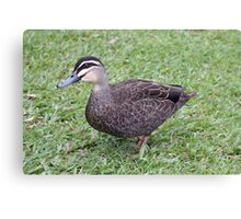 Pacific Black Duck Canvas Print
