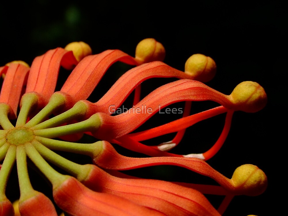 Australian Native - Fire Wheel Tree (Stenocarpus sinuatus) by Gabrielle  Lees