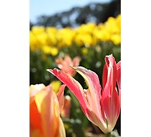 Pink lily tulips and yellow tulips   Photographic Print