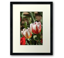 Red and white tulips Framed Print