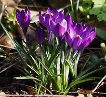 Crocus' Growing from the Soil in February (Spring) by AnnDixon