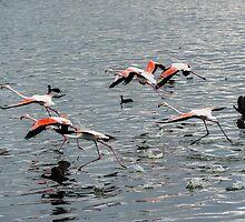 Flamingos by steve nicholson