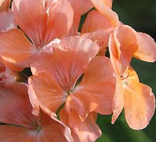 Pelargonium by Betty Mackey