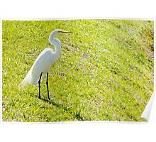 Egret on an embankment Poster