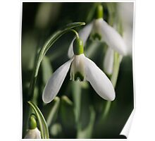Snowdrops, The Rower, County Kilkenny, Ireland Poster