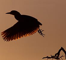 Black-crowned Night-Heron Silhouette Take-off. by Daniel Cadieux