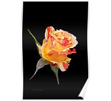 Rosebud on Ebony Poster