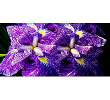 Purple Irises ©  Photographic Print