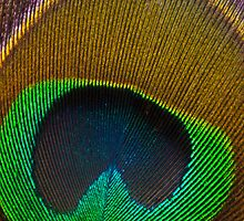 Peacock Feather by RBuey