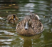 Momma Duck by MuskratPhoto