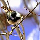My little chickadee by amontanaview