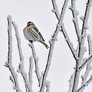Puffed Redpoll by Judy Grant