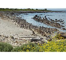 penguins of robben island Photographic Print