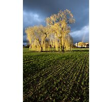 Weeping willow sunset Photographic Print