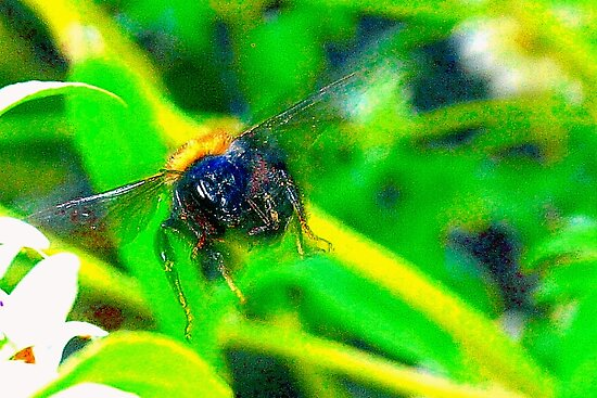 Bumblebee in flight by ♥⊱ B. Randi Bailey
