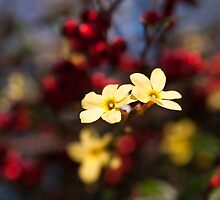 Jasminum Nudiflorum by Karen Havenaar