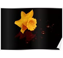 Daffodil on a bed of Water Beads Poster