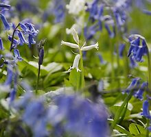 White bluebell flowers in bluebell wood, England by bethischeery