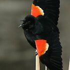 Male Redwing Blackbird - Ottawa, Ontario by Stephen Stephen