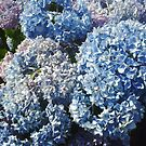 Beautiful Blue Hydrangeas by YorksSherman