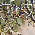 Zebra finches by bettyb