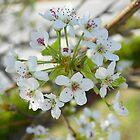 Spring Blooms by Caren