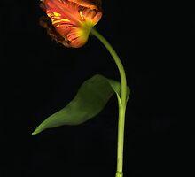 Amazing Parrott Tulip by Barbara Wyeth
