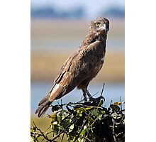 Brown Snake Eagle Photographic Print