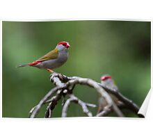 red-browed finch Poster