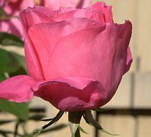 My mum's Rose by Beth  Wode