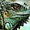 (Amphibians & Reptiles Category) - Family - Iguanidae - Iguana Family