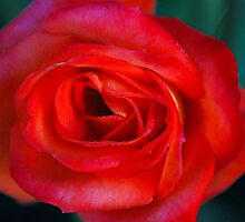 Red Beauty by Beth  Wode