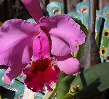 Cattleya Orchid by reflector