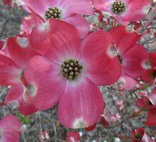 Cornus florida, ANU grounds, Canberra by orkology