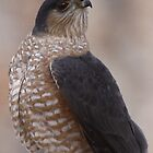 Sharp-shinned Hawk by Dennis Cheeseman