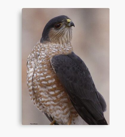 Sharp-shinned Hawk Canvas Print