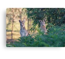 Curious kangaroos Canvas Print