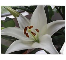 Wonderfully White With Super Stamens Poster
