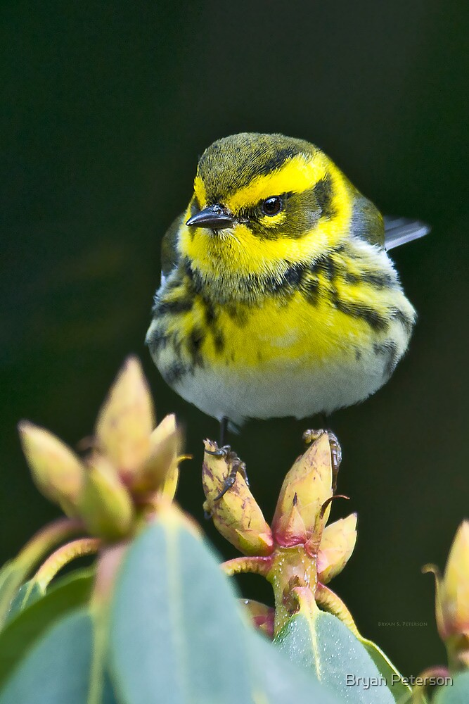 Townsend's Warbler in Winter by Bryan Peterson