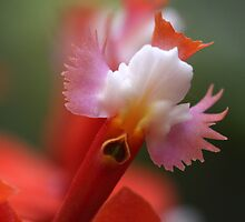 orchid angels by Iris Mackenzie