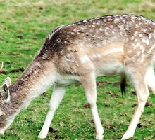 Fallow Deer by Dean Messenger