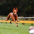 Ella the Phabulous Pharaoh Hound  by whippeteer