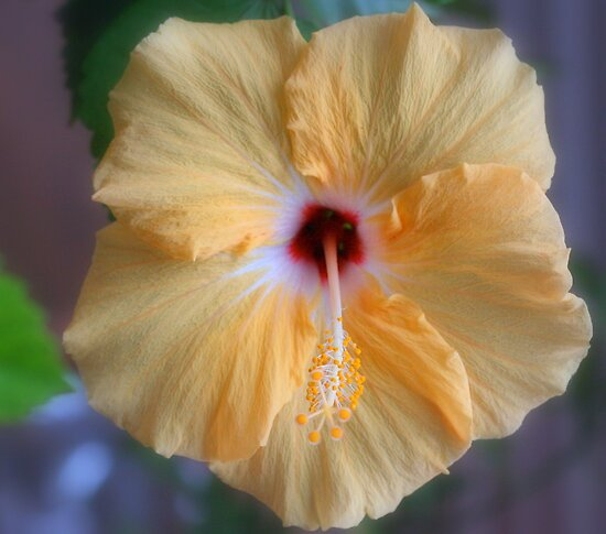 Hibiscus Beauty  by Renee Blake
