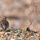 Shore Lark (Eremophila alpestris) by Grandalf