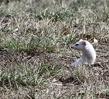 Long-tailed Weasel by Alyce Taylor
