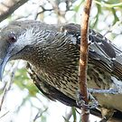 Look Of the Wattlebird by Rick Playle