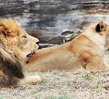 African Lion and Lioness by Alyce Taylor