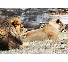 African Lion and Lioness Photographic Print